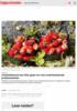 Arbeidstilsynet kan ikke gripe inn mot underbetalende jordbærbønder