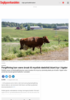 Forgiftning kan være årsak til mystisk dødsfall blant kyr i Agder