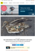Ny undersøkelse: Hver tredje sjøfugl har spist plast