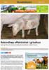Rekordhøy effektivitet i grisehus