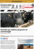 Svenske kyr slaktes på grunn av vannmangel