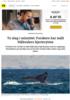 To slag i minuttet: Forskere har målt blåhvalers hjerterytme